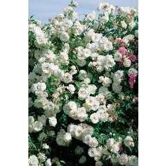 Rosier buisson blanc 'Fée des neiges' : pot de 5 litres