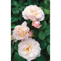 Rosier buisson rose pâle 'Gruss an Aachen' : pot de 5 litres