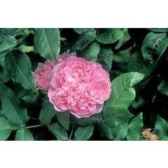 Rosier buisson rose clair 'Jacques Cartier' : pot de 5 litres