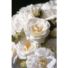 Rosier buisson blanc 'Midsummer Snow®' : pot de 5 litres