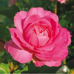 Rosier buisson rose vif 'Sylvie Vartan®' : pot de 5 litres