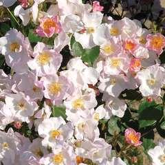 Rosier arbustif rose pâle 'Jeanne de Chedigny®' : pot de 5 litres