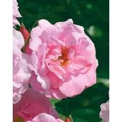 Rosier arbustif rose clair 'John Davis' : pot de 5 litres