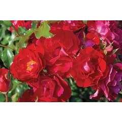 Rosier paysager rouge 'Moraya rouge®' : pot de 5 litres