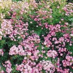 Rosier paysager rose vif à cœur blanc 'Pink Spray®' : pot de 5 litres