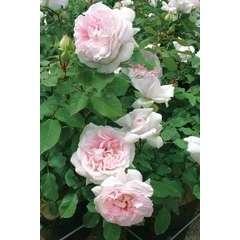 Rosier buisson rose pâle 'Rose Blush®' : pot de 5 litres