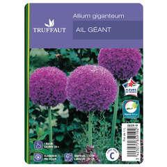 Allium Giganteum : C1L
