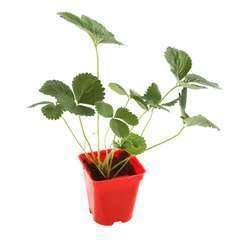 Plant de fraisier 'Tubby White' : pot de 0,5 litre