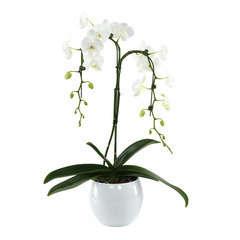 Orchidée Phalaeonopsis 2 tiges - pot D.14 cm