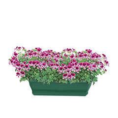 Pelargonium Mosquitaway 'Eva' : jardinière 40 cm