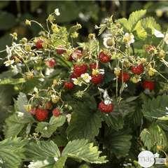 Plant de fraisier 'Mount Everest' : pot de 0,65 litres