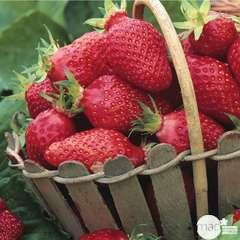Plant de fraisier 'Gariguette' : pot de 0,65 litres