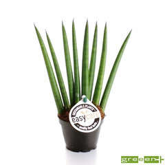 Sanseveria cylindrica : pot D6