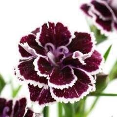 Dianthus caryophyllus 'Carnelia': coupe d.20 cm ton sur ton