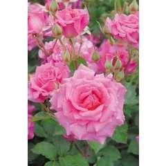 Rosier buisson rose 'Belle au bois dormant' : pot de 5 litres