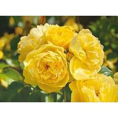 Rosier buisson jaune 'Académie d'Orléans®' : pot de 5 litres