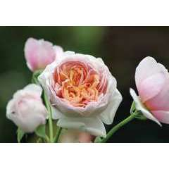 Rosier buisson rose 'Peter-Paul Rubens®' : pot de 5 litres