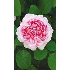 Rosier buisson rose 'Jubilé Impérial®' : pot de 5 litres