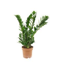 Zamioculcas 7 fleurs : pot d.19 cm Hauteur 85/90 cm