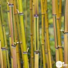 Phyllostachys Aureosulcata 'Spectabilis': C3L