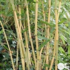 Phyllostachys Aureosulcata 'Aureocaulis': C3L