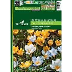 Bulbes de crocus botaniques - x100