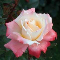 Rosier buisson 'Laetitia Casta®' (Meilampario) Label Rouge : pot de 5L