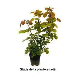 Rosier buisson 'Anny Duperey®' (Meitongas) Label Rouge : pot 5 litres