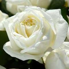 Rosier buisson 'Jeanne Moreau®' (Meidiaphaz) : pot de 5 litres