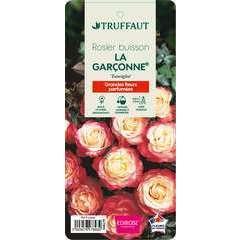 Rosier buisson 'La Garçonne®' (Taneiglat) : pot de 5 litres