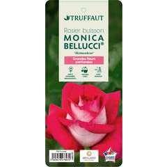 Rosier buisson 'Monica Bellucci®' (Meimonkeur) label rouge : pot de 5L