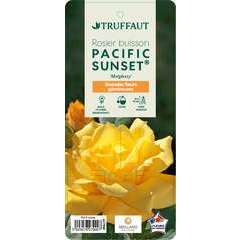 Rosier buisson 'Pacific Sunset®' (Meiglessy) : pot de 5 litres