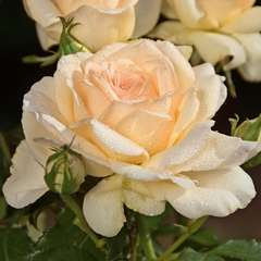 Rosier buisson 'Sweet Love®' (Harmisty) : pot de 5 litres