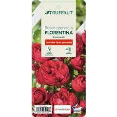 Rosier grimpant 'Florentina®' (Kortrameilo) : pot de 5 litres