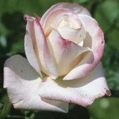 Rosier buisson 'Comtesse Brigitte Chandon Moët®' (Dorfaut): pot de 5 L