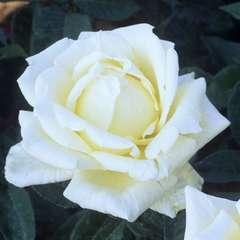 Rosier buisson 'Provence®' (Dorlina) : pot de 5 litres