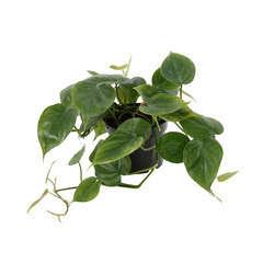 Philodendron scandens:pot diamètre 12 cm