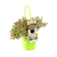 Abelia x grandiflora 'Magic Daydream' : C4L