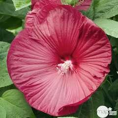 Hibiscus moscheutos rouge : C3L