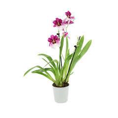 Orchidée Miltonia 2 tiges - pot D.12 cm