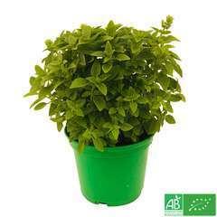 Plant de basilic fin vert bio : pot de 1 litre