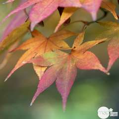 Acer palmatum nain : C5L - Variétés variables