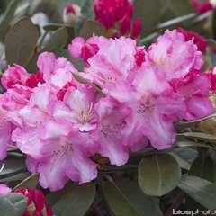 Rhododendron x mix : floraison retardée C7L