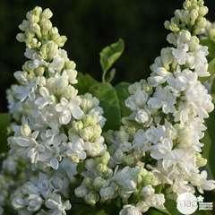 Syringa vulgaris Dentelle d'Anjou ®'Mindent : C5L