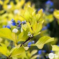 Cornus alba ' Aurea ' :  H. 60/80 cm : C4Litres