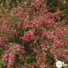 Cytisus scoparius 'Burkwoodii': ctr 7.5 litres