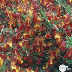 Cytisus scoparius 'Lena': ctr 7,5 litres