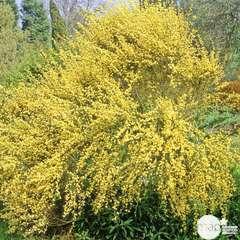Cytisus x praecox ' Allgold ': ctr 4 litres