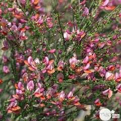 Cytisus x ' Zeelandia ' : C4L