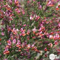 Cytisus x praecox ' Zeelandia ': ctr 7,5 litres